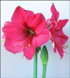 Hippeastrum 'Milady' - Amaryllis www.vanbloem.com #vanbloemgardens #flowerbulbs #amaryllis #indoorblooms #indoorforcing