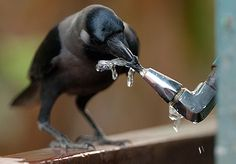 Pet crows give their
