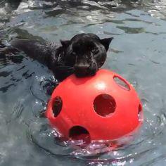 Cielo always makes me smile. Seeing her swimming just brings happy feelings to my heart :) #TheEmpress #OurLittleMermaid #Cielis #BlackJaguarWhiteTiger #Cielo #ItsAllForLove @blackjaguarwhitetiger