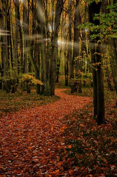 Autumn forest - Oradea, Romania (by socaciu marcel on Forest Path, Autumn Forest, Deep Forest, Wonderful Places, Beautiful Places, Marcel, Beautiful Forest, Nature Pictures, Pathways