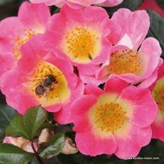Pair of Topolina Half Standard Roses All Flowers, My Flower, Flower Power, Clematis Cirrhosa, Kordes Rosen, Ground Cover Roses, Standard Roses, Ice Plant, Shrub Roses