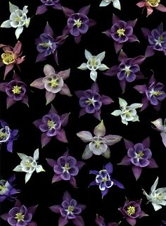 Purple aquilegia bloom pattern by Horticultural Art