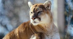 Late last week, local news agencies in central California reported that a man had apparently killed a mountain lion with his bare hands after being at...