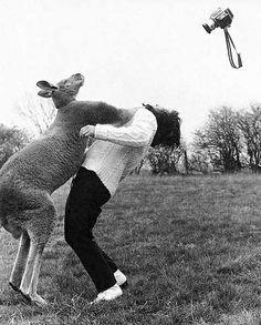 This kangaroo is sick of the paparazzi!