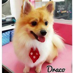 #Repost @plaquitasbarranquilla  @dracothepom_  Salió Ayer de su #DOGSPA  Encorbatao De negrita Puloy Para Gozarse La lectura del Bando  DRACO fue el Papasito del Evento  #plaquitasbarranquilla #petstagram #dogdress #dogfashion #petboutique #cachorro  #petstore #perritoscolombia #doglover #doggrooming #doglove #dogshirt #petshop #maicao #cali #medellin #dogspa #petspa #cartagena #bogota #barranquilla #doggrooming #spacanino  #dogboutique #pomeranian #carnavaldebarranquilla #DracoThePom by…