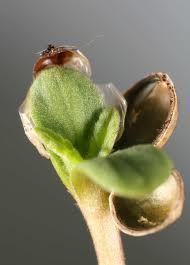 starting marijuana seeds   http://www.growingmarijuanaebook.com/