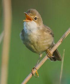 White=throated flycatcher (Empidonax albigularis)