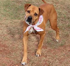 The Davinci Foundation for Animals RESCUE ACROSS THE NATION:OK Adopt Nana a Senior Lab/Pittie Mix at Edmond Animal Shelter OK. From our friends at Tuesday Tails
