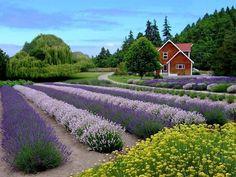 Purple Haze Lavender Farm in Sequim, Washington (Sequim is the 'Lavender' Capital of the world)