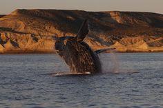 Una ballena franca saltando sobre el agua en la Patagonia argentina. | Carlos de Hita