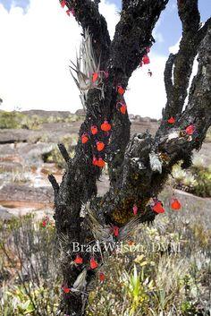 """Utricularia campbelliana, tepui """"A"""", Canaima National Park, Venezuela by Brad Wilson, DVM, via Flickr"""