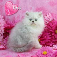 Silver Male Persian Kitten www.TeacupPersianKittens.com www.PreciousKittens.com  #cat #cats #persiancats #persiankittens #persiankittensforsale #teacuppersiankittens #teacuppersiankittensforsale