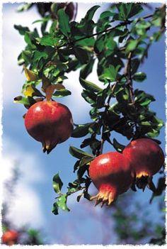Vor vielen Jahren lebte in Israel ein Mann namens Reb Nisim mit seiner Familie in einem kleinen Steinhaus, das allen anderen Häusern im Dorf glich - abgesehen davon, dass neben dem Haus ein wunderschöner Baum wuchs, der köstliche, saftige Granatäpfel trug.