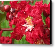 Red Myrtle Up Close Canvas Print / Canvas Art By Skyler Tipton YLYEEL at checkout for 35% discount!