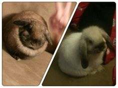 My Holland lops :-)