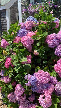 Flower Farm, Flower Beds, Nantucket, Beautiful Roses, Beautiful Gardens, Hydrangea Care, Hydrangea Bush, Tulip Bouquet, Bloom