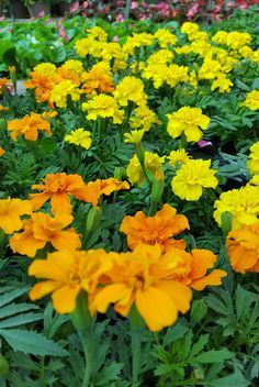 Fall Marigolds | The Family Tree Inc.