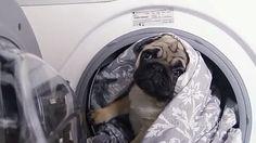 Всем хорошего дня и отличного настроения,  очень интересно про мопса по кличке Чубака, рекомендую посмотреть @Regrann_App from @gleb_kornilov -  #5 Чубака-убирака... вместе с @amakedonskaya 👹👻🙅 Pug-cleaner #мопс #pug #pugs #мопсы #прикол #приколы #собака #щенок #юмор #ржака #смех #улыбка #чубака #chubaka - #regrann