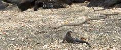 Wat een race! Een scène uit Planet Earth 2, een natuurdocumentaire van de BBC, gaat viraal. Een kleine zeeleguaan probeert op het strand te ontkomen aan een overvloed van slangen die plots overal opduiken. Alles gebeurt aan zo'n hoge snelheid dat je als kijker helemaal meeleeft en jouw adem bijna inhoudt van de spanning. Video: