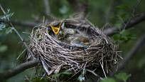 Mládě drozda čeká na rodiče ve hnízdě ukrytém v hlohovém keři Bird, Animals, Animais, Animales, Animaux, Birds, Animal, Dieren, Birdwatching