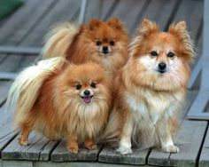 Check Out Some Of These Adorable Small Dog Breeds. It's Incredibly Cute. All Small Dog Breeds, Big Dog Breeds, Dog Breeds List, Big Dogs, Large Dogs, Small Dogs, Dog Breed Finder, Spitz Pomeranian, Fish Gallery