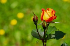 Free Image on Pixabay - Rose, Blossom, Bloom, Bloom Red Rose Images Hd, Beautiful Rose Flowers Images, Red Rose Love, Rose Pic, Cute Good Night, Good Night Image, Roses In Potatoes, Rooting Roses, Rose Wallpaper