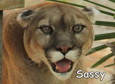 Meet new cat, Sassy Cougarhttps://bigcatrescue.org/sassy-cougar/Sassy & 5 others arrived on Oct. 17, 2016 from Spirit of the Hills. Learn more about the rescue at: https://bigcatrescue.org/spirit-of-the-hills/