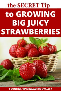 The Best tips and secret hacks to grow big strawberries! Follow these proven methods whether you grow strawberries in pots or in raised beds. Pruning tips and growing ideas to grow huge strawberries.