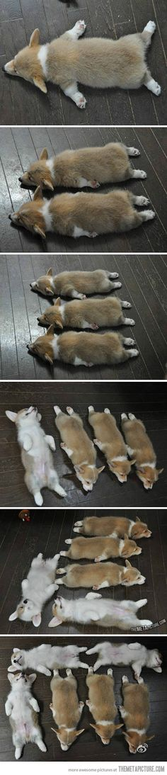 my 6 year old corgi still sleeps like this! Got to love Corgi puppies! Animals And Pets, Baby Animals, Funny Animals, Cute Animals, Cute Puppies, Cute Dogs, Dogs And Puppies, Corgi Puppies, Baby Corgi