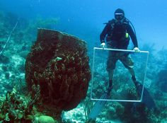 Giant barrel sponges off Little Cayman Island. With coral cover on Caribbean reefs at historic lows, sponges are now the dominant, habitat-forming animals on most of them. [Photo credit: Joseph R. Pawlik, University of North Carolina Wilmington]