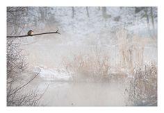 kingfisher on ice