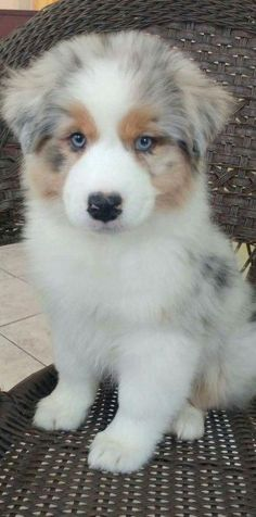 All About The Exuberant Australian Shepherd Puppies And Kids Super Cute Puppies, Cute Baby Dogs, Super Cute Animals, Cute Dogs And Puppies, Cute Little Animals, Cute Funny Animals, Doggies, Big Dogs, Australian Shepherd Puppies