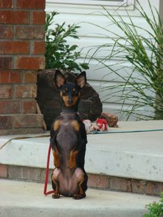My dog, Roxy, used to do this pose all the time! I loved it. Sure missing my little buddy right now. <3