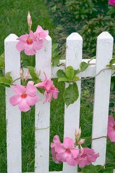 Mandevilla on white picket fence