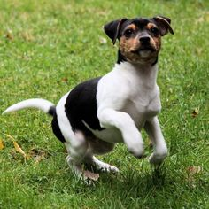 Brazilian Terrier Puppy Dog