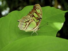 Malachite butterfly resting on green leaf in garden designed by Brent Knoll of Knoll Landscape Design