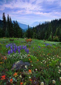 Alpine Morning, Olympic National Park, Washington