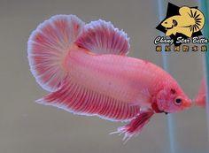 Pink plakat betta splendens. Chang Star Betta