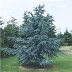 Cedar trees are perfect for adding some color to your yard throughout the seasons. Our Blue Cedar Atlas maintains a sparkling silver-blue to blue-green foliage and is slow-growing. Buy one today at gardengoodsdirect.com!