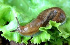 Maui Now: Ask the Mayor: Do Rats Carry Rat Lungworm Disease? Depoe Bay, Snail, Salvia, Maui, Tropical, Vegetables, Animals, Gardening, Tudor