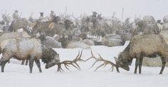 Elk, National Elk Refuge, Wyoming, USA