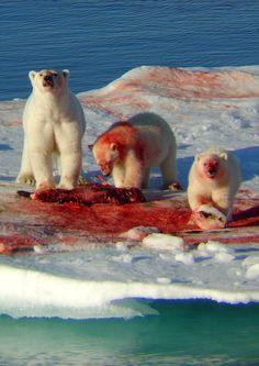 ursos polares alimentando-se
