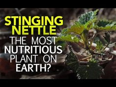 """When many people hear the two words """"Stinging Nettle,"""" the image that comes to mind is a plant that's best to be avoided.This is all a bit unfortunate, because Stinging Nettle may very well be one of the wild's most nutritious plants. When you dig into its vitamin and mineral profile, …"""