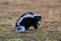 Humboldt's hog-nosed skunk (Conepatus humboldtii) Torres del Paine, Chile Skunks, Panda Bear, Chile, Panda, Pandas, Chili
