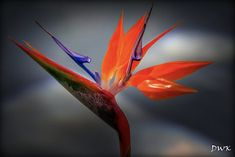 Bird-of-Paradise   Bird-of-paradise flower, also called cran…   Flickr Exotic Flowers, Blue Flowers, Birds Of Paradise Flower, Ornamental Plants, Love Birds