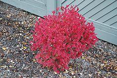 Compact European Cranberry (Viburnum opulus