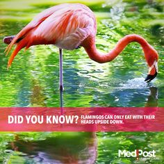 Did you know? #Flamingos can only eat with their heads upside down. #Fact