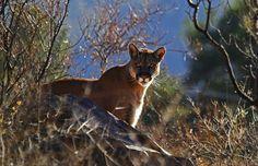 Texas cougar