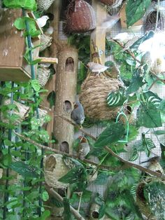 zebra finches aviary.  Love this!