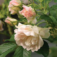 Rosa rugosa 'Polar Ice'